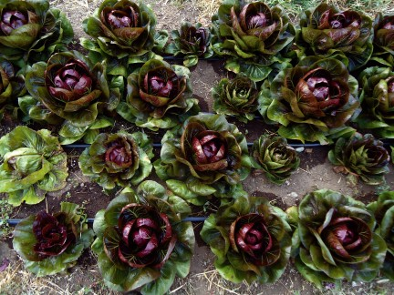 Radicchio in the Garden